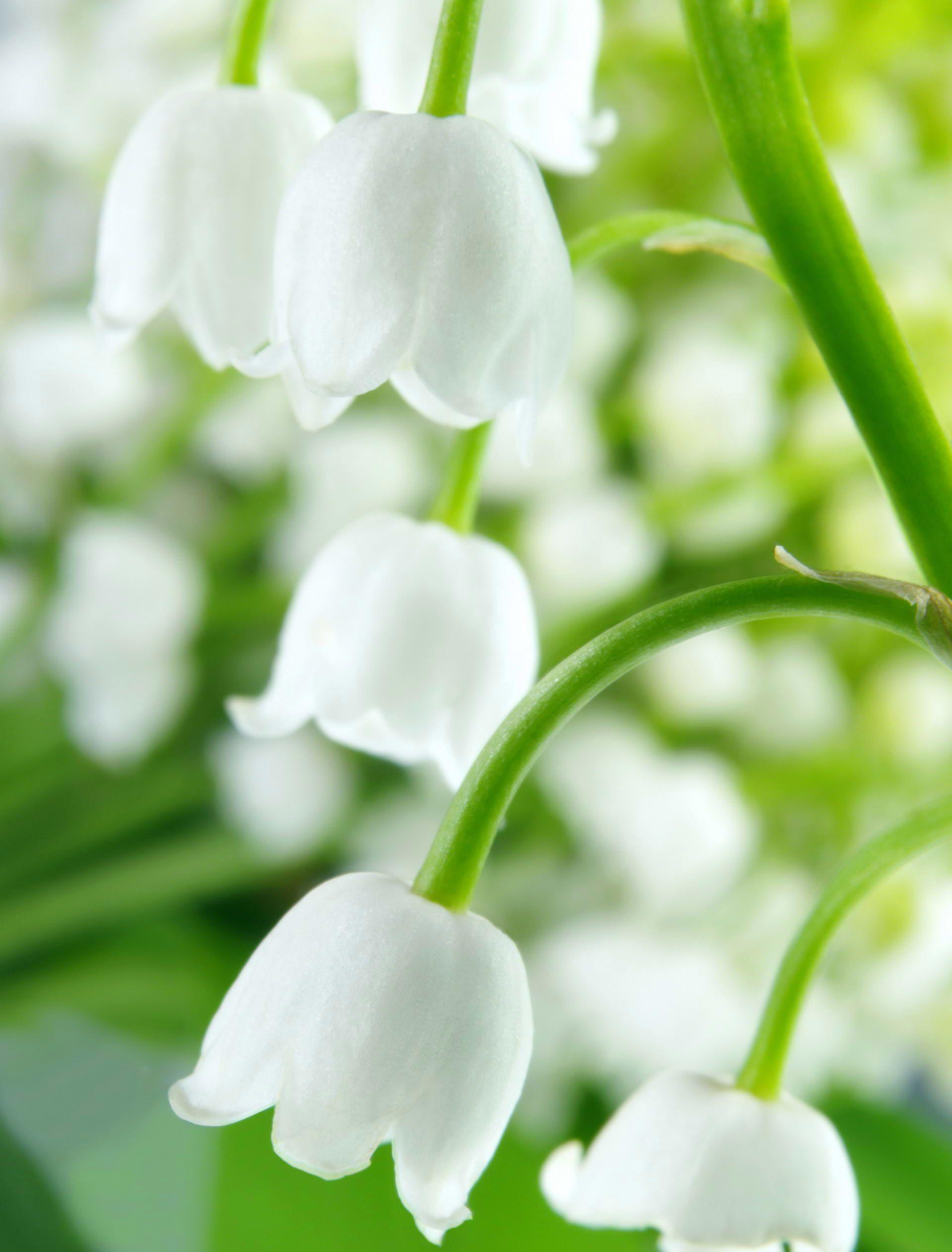 Рудбекия  садовые декоративные растения  Классы